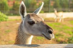 Adorable lama portrait in the park. Adorable lama in the park Stock Photos