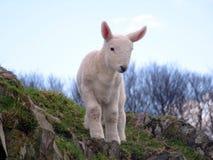 Adorable Lamb Stock Photography