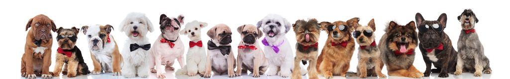 Adorable large group of elegant dogs on white background. Adorable large group of elegant dogs with bowties and sunglasses standing, sitting and lying on white Royalty Free Stock Image