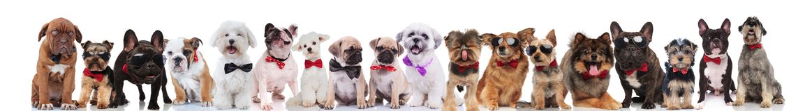 Adorable large team of stylish dogs with bowties. Standing, sitting and lying on white background Royalty Free Stock Photo