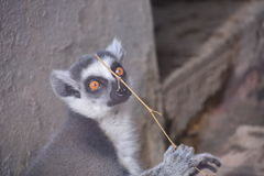 Adorable lemur Royalty Free Stock Photos