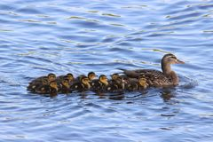 An Adorable Line Up. A mother mallard duck swimming with her ducklings on a pond Stock Photos