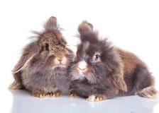 Adorable lion head rabbit bunnys lying down together Stock Image