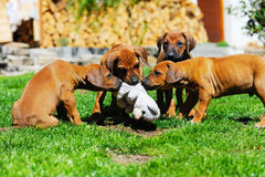 Adorable litter of puppies playing Royalty Free Stock Photo