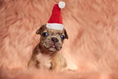 Adorable little american bully santa puppy bitting its tongue royalty free stock photos