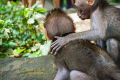 Adorable little baby macaque monkeys at Sacred Monkey Forest. Ubud, Bali, Indonesia royalty free stock photography