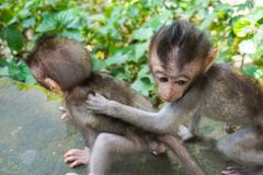 Adorable little baby macaque monkeys at Sacred Monkey Forest. Ubud, Bali, Indonesia stock photography