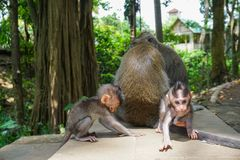 Adorable little baby macaque monkeys at Sacred Monkey Forest. Ubud, Bali, Indonesia royalty free stock images