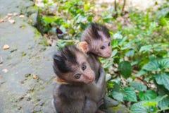 Adorable little baby macaque monkeys at Sacred Monkey Forest. Ubud, Bali, Indonesia stock photo