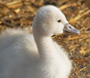 Adorable little baby Mute Swan resting in her nest Royalty Free Stock Image