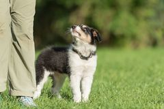 Adorable little border collie puppy is looking up to his owner tall. Dog handler is busy with his Border Collie puppy. Doggy 8 weeks old. Dog is standing in royalty free stock image