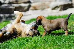 Adorable little Border terrier with mother Royalty Free Stock Photos
