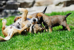 Adorable little Border terrier with mother Royalty Free Stock Photo
