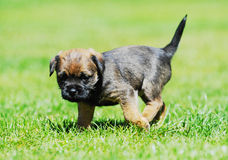 Adorable little Border terrier puppy Royalty Free Stock Photography
