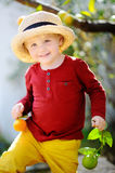 Adorable little boy in straw hat picking fresh ripe tangerine in sunny tangerine tree garden in Italy Royalty Free Stock Images