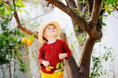 Adorable little boy in straw hat picking fresh ripe tangerine in sunny tangerine tree garden in Italy Stock Images
