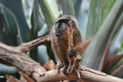 Adorable Little Brown Collared Lemur in Nature. Adorable Little Brown Collared Lemur Holding a Stick Stock Images