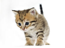 Adorable little cat, isolated on white Royalty Free Stock Image