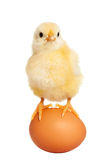 Adorable little chick isolated Royalty Free Stock Photography