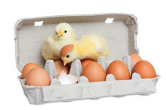 Adorable little chick playing Stock Photography