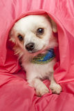 Adorable little chihuahua. Stock Photography