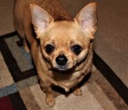 Little Tan Chihuahua Waiting for Treats royalty free stock photos