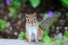 Adorable little chipmunk Stock Photos
