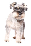 Adorable little dog Royalty Free Stock Photo