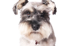 Adorable little dog Royalty Free Stock Images
