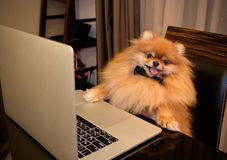Funny dog using laptop at table. Adorable little dog with bow tie sitting at table and browsing modern laptop stock photo