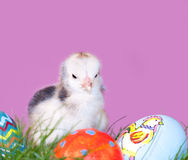Adorable little Easter chick Stock Photography