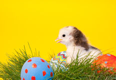 Adorable little Easter chick in grass Stock Photo