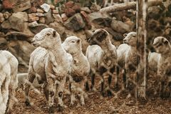 Adorable little ewes lamb onduring spring season. Peasant farm, Small Ewe in Wooden Barn royalty free stock photo