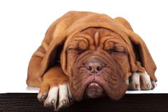 Adorable little french mastiff puppy is sleeping royalty free stock photos