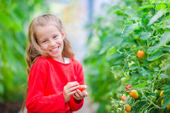 Adorable little girl collecting crop cucumbers and tomatoes in greenhouse. Portrait of kid with red tomato in hands. Stock Photography