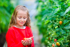Adorable little girl collecting crop cucumbers and tomatoes in greenhouse. Portrait of kid with red tomato in hands. Royalty Free Stock Photos