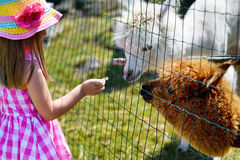 Adorable little girl feeding alpaca at the zoo on sunny summer day Stock Image