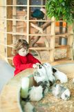 Adorable little girl feeding the cavy at the petting zoo royalty free stock photography