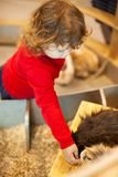 Adorable little girl feeding the cavy at the petting zoo stock photography