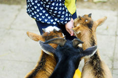 Adorable little girl feeding a goat at the zoo on hot sunny summer day Stock Photography
