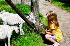 Adorable little girl feeding a goat at the zoo on hot sunny summer day Royalty Free Stock Image
