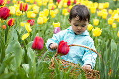 Adorable  little girl gathering tulips Stock Photos