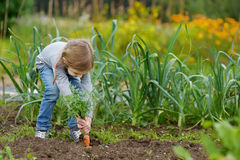 Adorable little girl picking carrots Royalty Free Stock Image