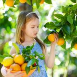 Adorable little girl picking fresh ripe oranges Stock Photo