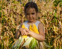 Little girl playing in a corn field on autumn. Child holding a cob of corn. Harvesting with kids. Autumn activities for children. Adorable Little girl playing in royalty free stock photography