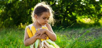 Little girl playing in a corn field on autumn. Child holding a cob of corn. Harvesting with kids. Autumn activities for children. Adorable Little girl playing in stock photography