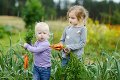 Adorable little girls picking carrots Royalty Free Stock Photo