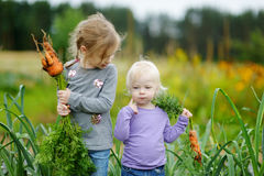 Adorable little girls picking carrots Stock Photography