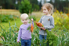 Adorable little girls picking carrots Royalty Free Stock Photography