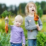 Adorable little girls picking carrots Royalty Free Stock Images